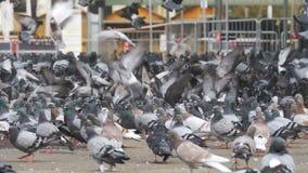 Reusachtige Troep van Duiven die Brood in openlucht in het Stadspark eten Langzame Motie stock video