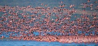 Reusachtige troep van flamingo's het opstijgen kenia afrika Nakuru National Park De Nationale Reserve van meerbogoria royalty-vrije stock afbeeldingen