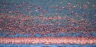 Reusachtige troep van flamingo's het opstijgen kenia afrika Nakuru National Park De Nationale Reserve van meerbogoria royalty-vrije stock fotografie