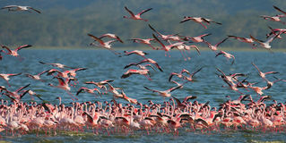 Reusachtige troep van flamingo's het opstijgen kenia afrika Nakuru National Park De Nationale Reserve van meerbogoria royalty-vrije stock foto