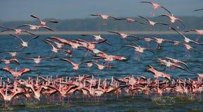Reusachtige troep van flamingo's het opstijgen kenia afrika Nakuru National Park De Nationale Reserve van meerbogoria stock afbeelding
