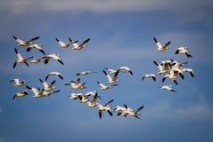 Reusachtige troep van migrerende sneeuwganzen in de blauwe hemel royalty-vrije stock foto's