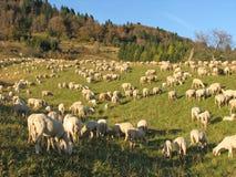 Reusachtige troep van schapen en geiten die in de bergen weiden Stock Foto's