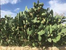 Reusachtige Vijgencactuscactussen in de wildernis Stock Afbeeldingen