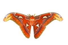 Reusachtige vlinder Royalty-vrije Stock Fotografie