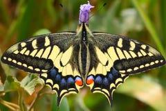 Reusachtige vlinder Stock Foto's