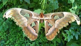 Reusachtige Vlinder in de bovenkant van de Wildernisheuvel stock foto