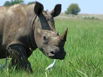 Reusachtige volwassen Afrikaanse witte rinoceros Stock Foto's