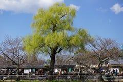 Reusachtige wilg in Kyoto Stock Afbeelding