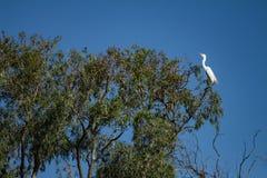 Reusachtige witte vogel op een boom Een wilde vogel stock foto's