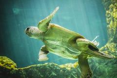 Reusachtige zeeschildpad onderwater naast koraalrif Stock Foto