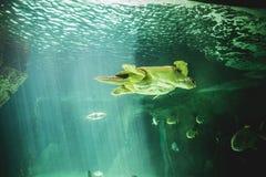 Reusachtige zeeschildpad onderwater naast koraalrif Stock Foto's