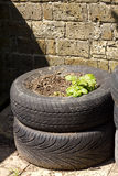 Reused tyres as potato planters. Two stacked tyres being reused as a potatoes planter with a background of a brick wall Royalty Free Stock Image