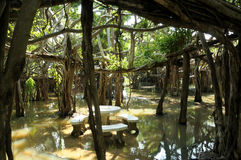 Reuze banyan boombosje in Thailand Royalty-vrije Stock Afbeelding