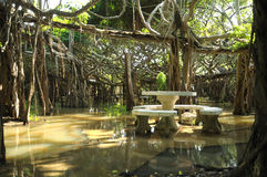 Reuze banyan boombosje in Thailand Royalty-vrije Stock Fotografie