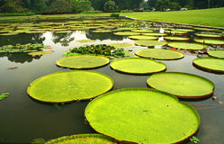 Reuze bladeren van waterlelies Uit de Amazone in Bogor royalty-vrije stock afbeelding