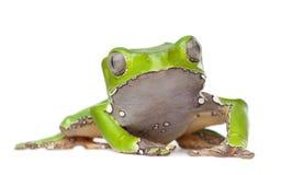 Reuze bladkikker - tweekleurige Phyllomedusa Stock Foto
