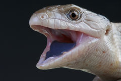 Reuze blauw-tongued skink/Tiliqua-gigas stock afbeelding