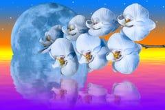 Reuze blauwe maan en romantische orchideeënbloem Royalty-vrije Stock Foto's