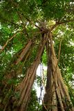 Reuze Boom in het regenwoud. Royalty-vrije Stock Foto's