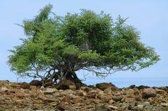 Reuze boom op de oceaankust. Stock Foto