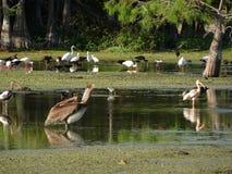 reuze bruine pelikaan Stock Foto's