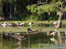 reuze bruine pelikaan Stock Fotografie
