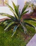 Reuze cactus stock fotografie