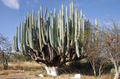 Reuze cactus royalty-vrije stock afbeeldingen