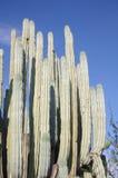 Reuze cactus stock afbeeldingen