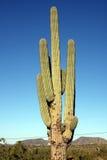 Reuze cactus Stock Foto