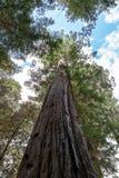 Reuze Californische sequoia's Royalty-vrije Stock Afbeelding