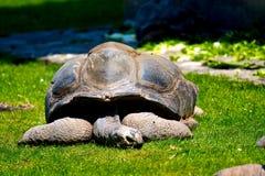Reuze de Galapagos van de slaap schildpad stock afbeelding