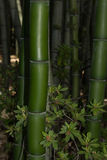 Reuze donkergroen bamboe Royalty-vrije Stock Foto