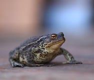 Reuze droevige zwarte kikkerpad stock afbeeldingen