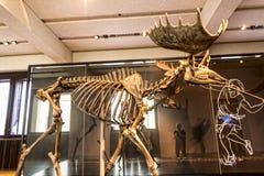 Reuze Europese Elanden in Museum de stad van Berlin Germany stock foto