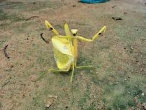 Reuze Gele Amazoninian-Bidsprinkhanen in Volledige Verdedigingshouding Één van een vriendelijke foto stock afbeeldingen