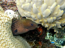 Reuze Groene Moray paling Fiji Stock Fotografie