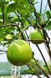 Reuze groene oranje fruitboom in de tuin Stock Afbeelding
