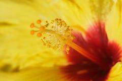Reuze hibiscus royalty-vrije stock foto's