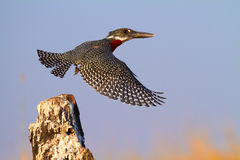 Reuze Ijsvogel Royalty-vrije Stock Foto