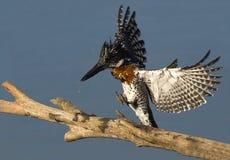 Reuze Ijsvogel Royalty-vrije Stock Afbeelding