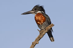 Reuze Ijsvogel Royalty-vrije Stock Fotografie