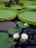 Reuze Lilypads Stock Afbeeldingen