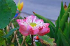 Reuze lotusbloem royalty-vrije stock afbeeldingen