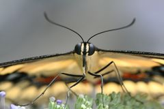 Reuze macro Swallowtail Royalty-vrije Stock Foto
