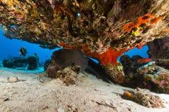 Reuze moray onder een lijstkoraal in het Rode Overzees. stock afbeelding