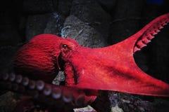 Reuze Octopus Royalty-vrije Stock Afbeeldingen