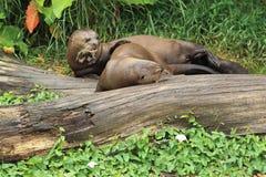 Reuze otters Stock Afbeeldingen
