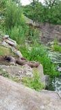 Reuze otters Stock Afbeelding